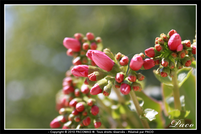 Pin fleurs plantes plante fleur rose on pinterest - Plante grasse a fleur ...